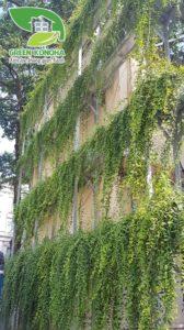 thi công tường cây cúc tần ấn độ